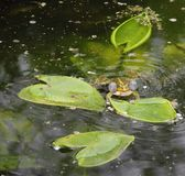 Frog wah. The frog croaking in the pond stock images