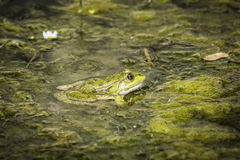 Frog waiting on a river Royalty Free Stock Photography