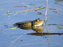 The frog waits patiently for its prey stock photography