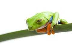 Frog is watching Stock Photography