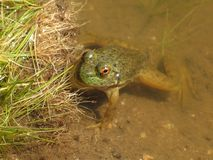 Frog in the water. Frog staring back at you Stock Photo