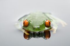 Frog in water royalty free stock photo