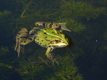 Frog in the water. Waiting for quarry Royalty Free Stock Images