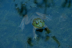 Frog in the water Stock Image