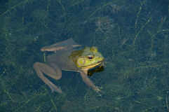 Frog in the water Stock Photo