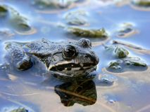 A frog in water. Shallow depth of field with focus on eyes Royalty Free Stock Photo