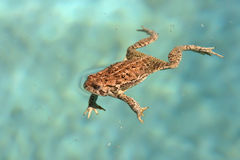 Frog  in water. Desert spotted Frog swimming  in blue water Stock Photos