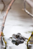 Frog in water Stock Photo