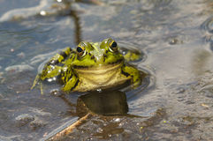 A frog in the water Royalty Free Stock Photos