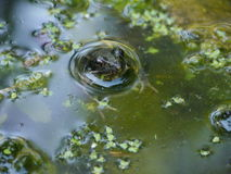 Frog in the water. A frog in the water Royalty Free Stock Image
