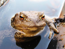 Frog in the water. Funny frog looking from the water Stock Images