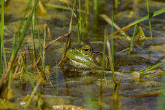 Frog in the Water Royalty Free Stock Photos