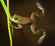 Frog in the Water. A Bullfrog in a creek Stock Photography