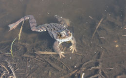 Frog in water Stock Image