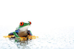 Frog with water droplets. Frog closeup with water water droplets on white, a red-eyed tree frog (Agalychnis callidryas Royalty Free Stock Images