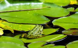 Frog, Water Frog, Animal, Green Stock Images