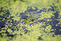Frog in the water Stock Images