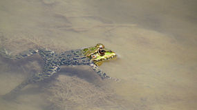 Frog in water Stock Photography