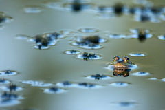 Frog in water. Green frog in silver water with reflection Stock Image