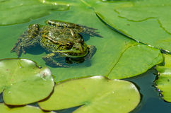 Frog on the water Lilly leafs Stock Photo