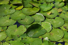 Frog on water lilly leaves Stock Image