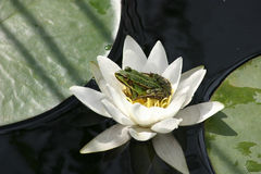 Frog on water lily Stock Images