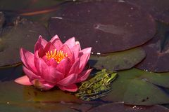 Frog and water lily Stock Images