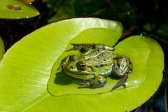 Frog on water lily leaf Royalty Free Stock Photography