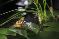Frog on a water lily leaf Stock Images