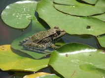 Frog on water lily leaf Stock Images