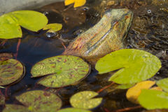 Frog and water lily side-view Royalty Free Stock Images