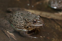 Frog in water Royalty Free Stock Images