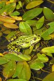 Frog in the water, nature, water animals. Frog in the water, in summer, green, Water animal, spring series royalty free stock image