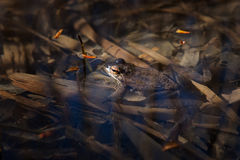 Frog in the water Stock Photos