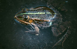 Frog in the water Stock Photography