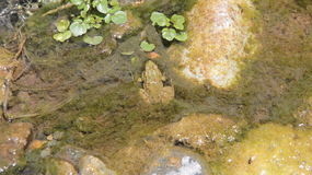 Frog on water Stock Image