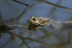 Frog in the water on a tree branch. Stock Photo