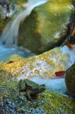 Frog with waterfall background. This image about a frog, stalking its prey at waterfall compound Stock Photos