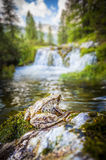 Frog and waterfalls Stock Photos
