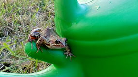 Frog. On a watering can Stock Photo