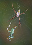 Frog in the web Stock Image