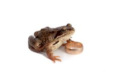 Frog and a wedding ring Royalty Free Stock Photos