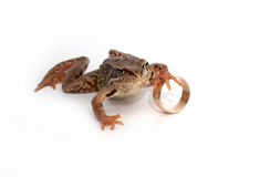 Frog and a wedding ring Stock Images