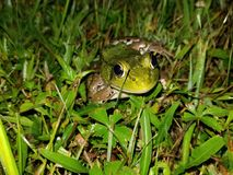 Frog in Wet Grass. Bullfrog in the wet grass at night royalty free stock image