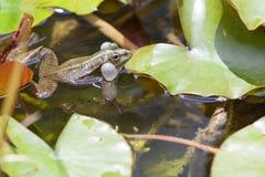 Frog on a Wet Leaf Stock Images