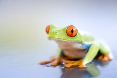 Frog on wet metal closeup Stock Photos