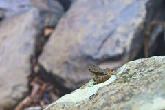 Frog on a wet stone Stock Photos