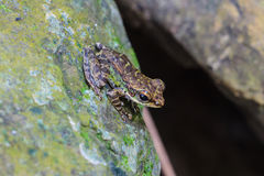 Frog on a wet stone Stock Photography