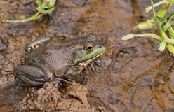 Frog in Wetland Habitat. Bullfrog Sitting in a Wetland Habitat with Water and Green Plants royalty free stock image