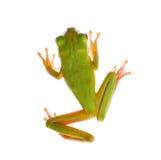 Frog on white Stock Photos